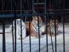 Allineamento tigri