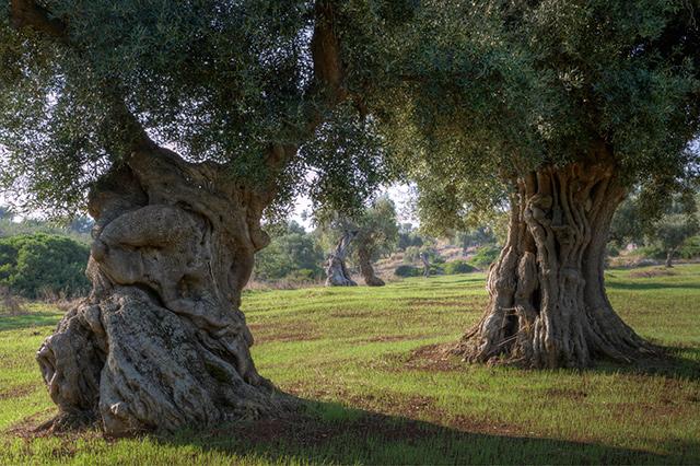xylella fastidisiosa il killer degli ulivi sta uccidendo