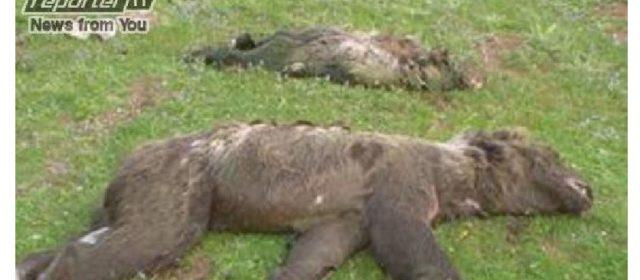 Villavallelonga: 5 orsi annegati in 8 anni in vasca