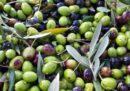Clima: al via la raccolta delle olive in Italia